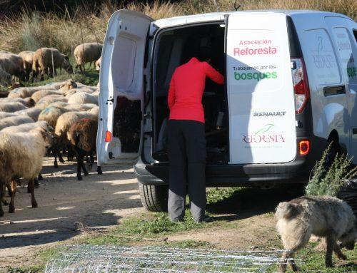 Las ovejas reforestadoras