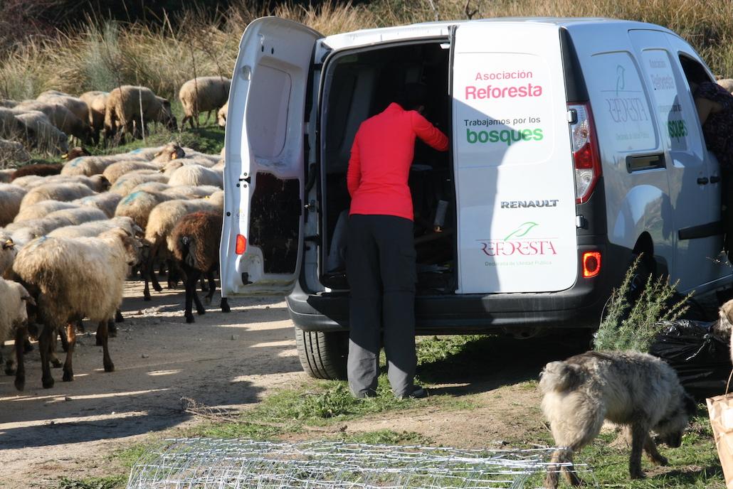 LAs ovejas reforestadoras Hilandia